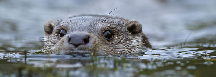 Licence to trap otters in fenced waters