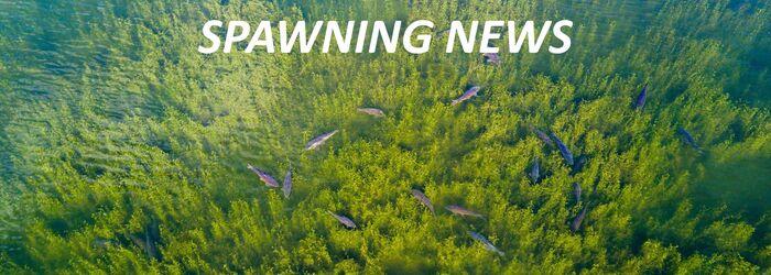 SPAWNING NEWS 2020